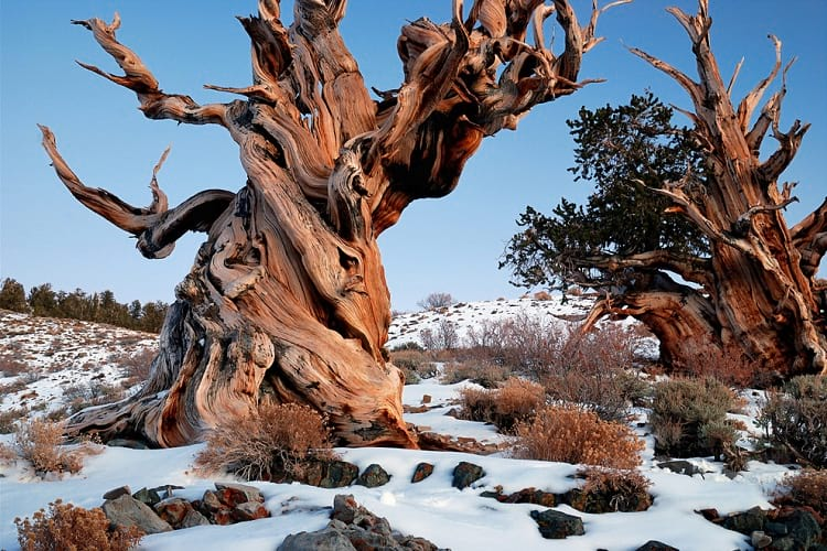 Bristlecone Pine Forest in eastern California.
