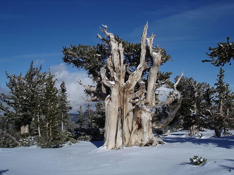 Pinus longaeva during winter