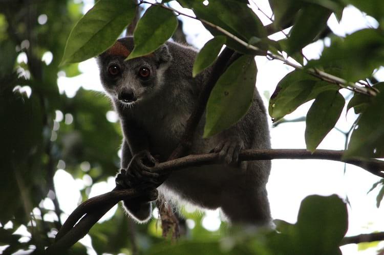 Lemurs of Tsingy de Bemaraha National Park.