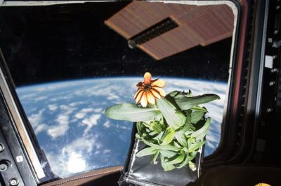 Photo of the first Zinnia flower in space.