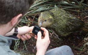 Kakapo parrot in Anchor Island