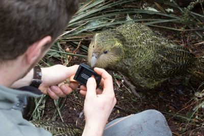Kakapo parrot in Anchor Island