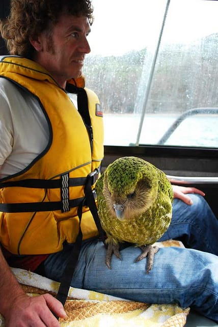 Kakapo parrot being relocated.