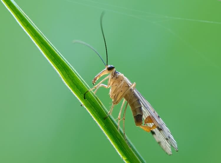 Mecoptera: A male scorpion fly.