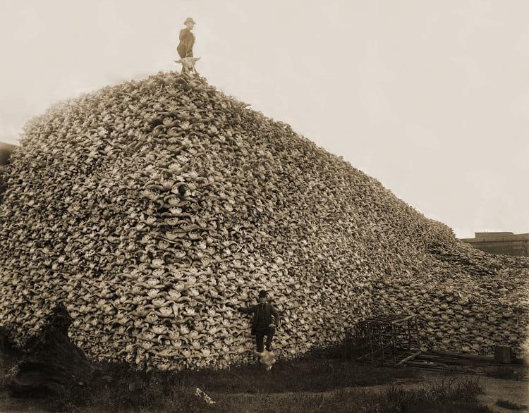 Extinction of Bison