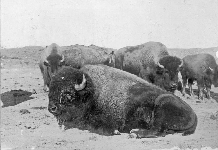 The last herd of buffaloes