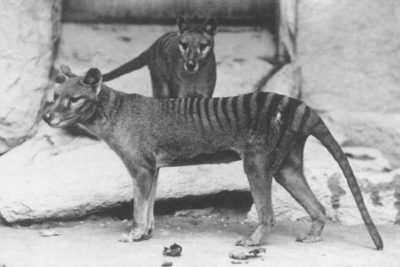 A pair of Thylacine