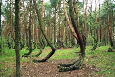 Crooked forest.