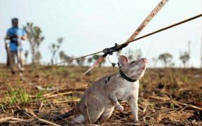 Rats detecting landmines.