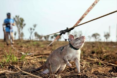 Rats detecting landmines.