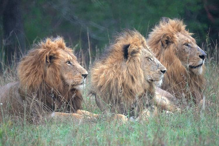 Mapogo lions