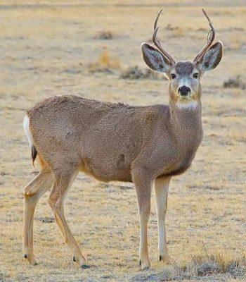 A male mule deer