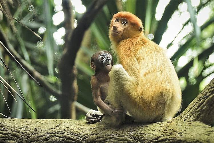 A female proboscis monkey with her child