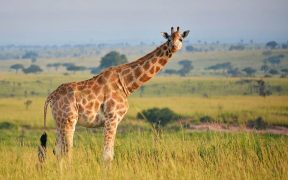 A giraffe at Queen Elizabeth Park in Uganda.