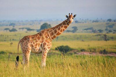 A giraffe at Queen Elizabeth Park in Uganda.