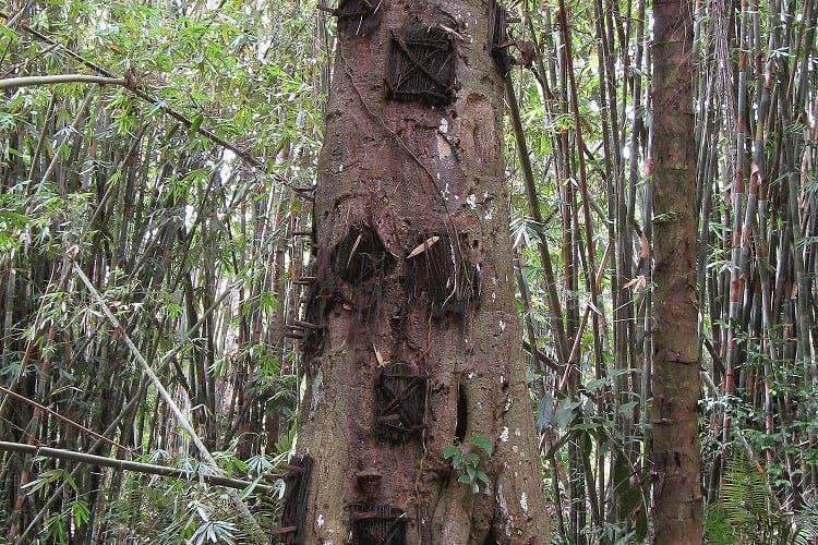 Tree burial by Tana Toraja