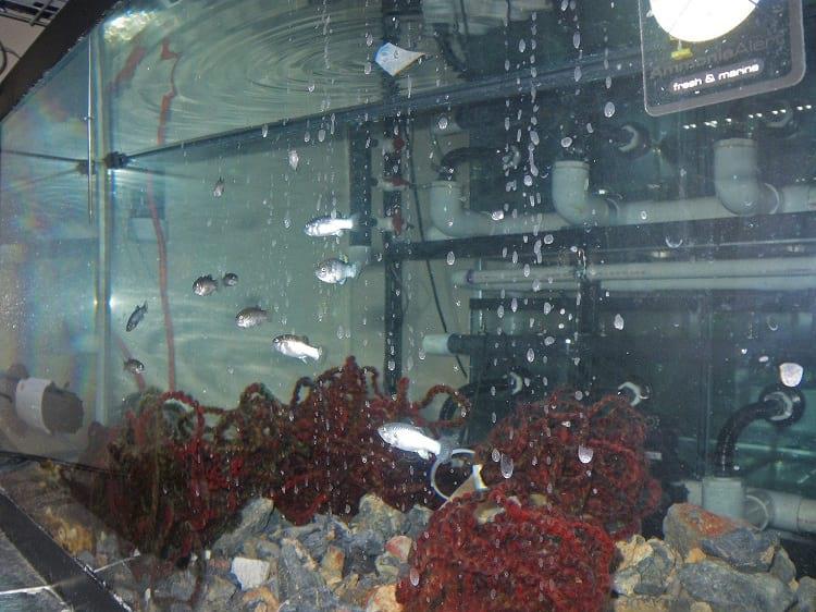 Devils Hole pupfish in an aquarium.