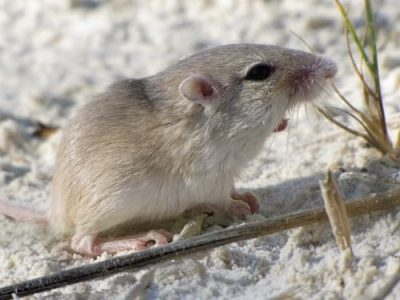 White Sands National Monument: Apache pocket mouse