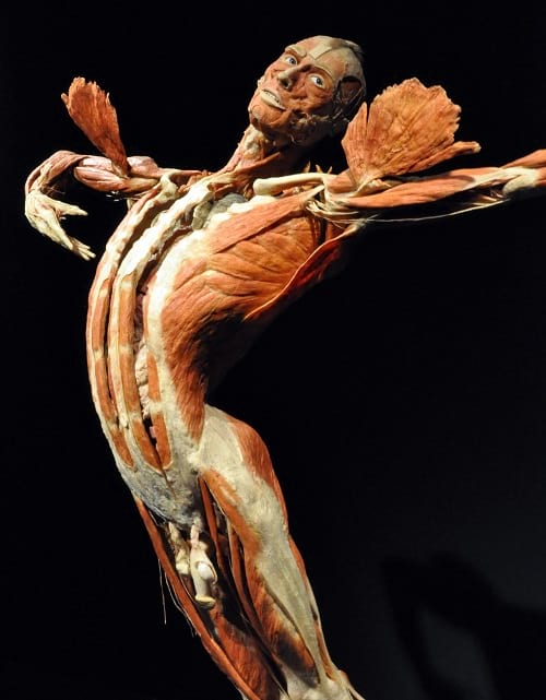 Body Worlds Exhibits: A male ballet dancer.