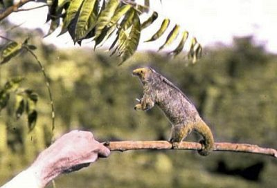 Cyclopes didactylus or silky anteater