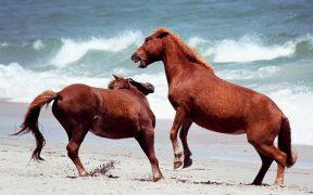 The feral horses of Assateague Island