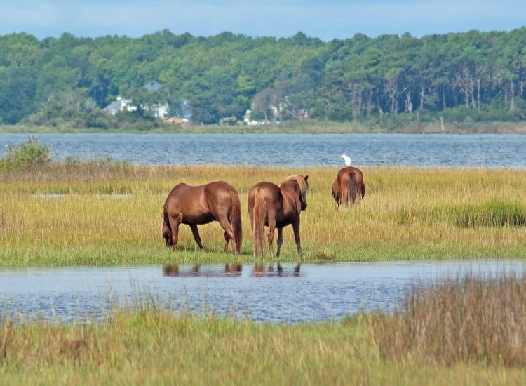 Feral horses grazing