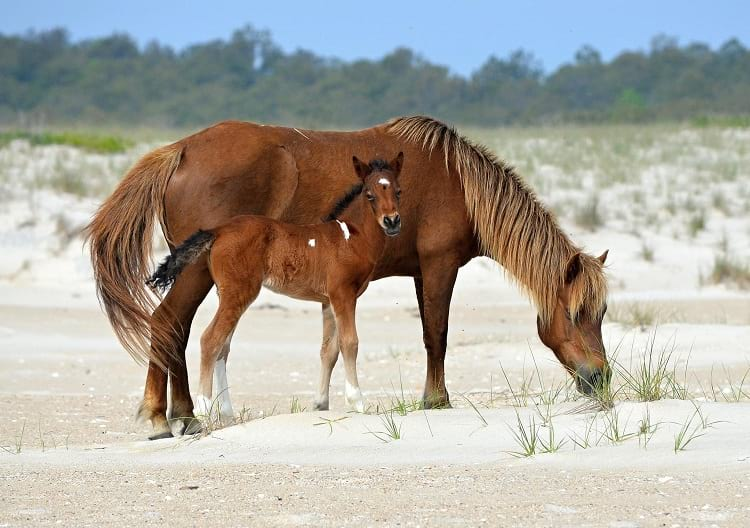 A mother horse with her foal grazing