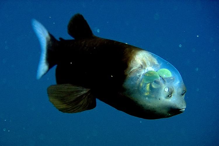 Barreleye Fish.