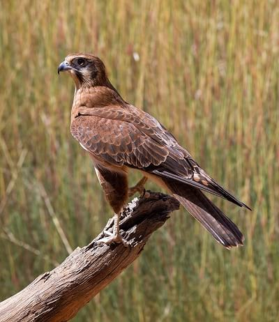 Brown falcon is known to start forest fire.