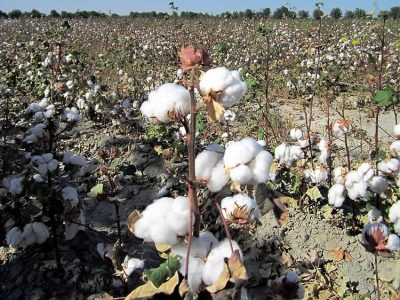 The soviet irrigation project of cotton cultivation