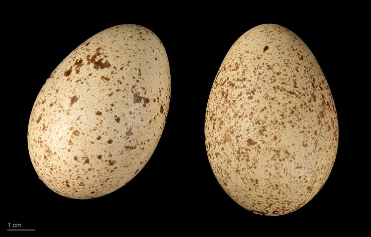 Eggs of Himalayan monal.