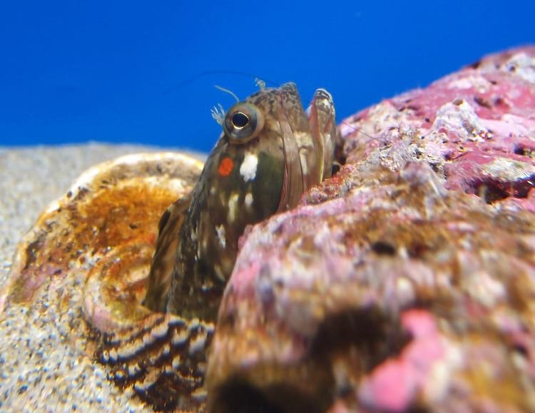 Sarcastic fringehead emerging from a shell.