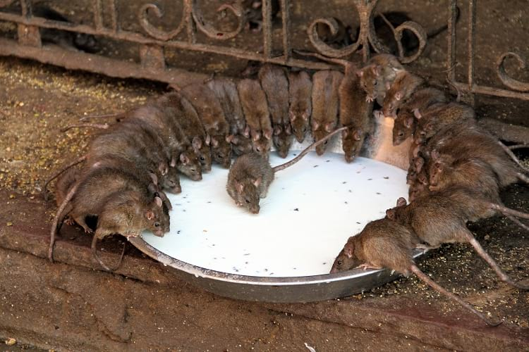 Rats drinking milk at Karni Mata Temple.