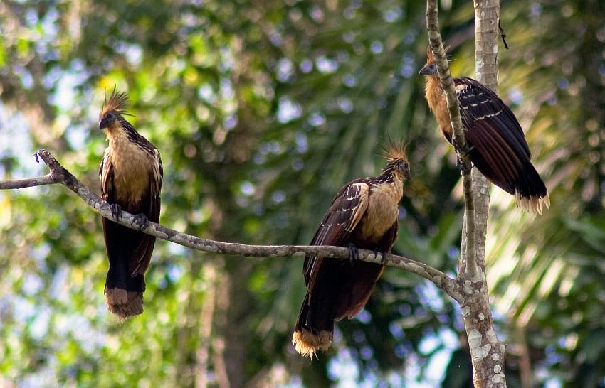 Hoatzins sitting on a branch.