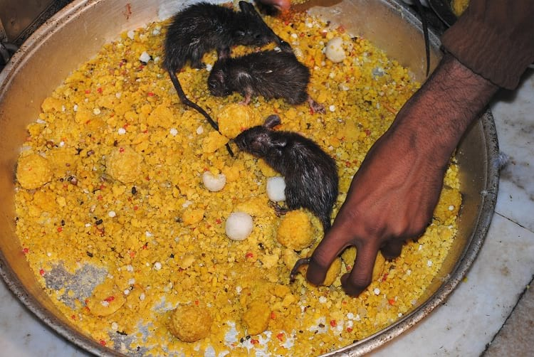 A offering prasāda to rats at Karni Mata Temple.