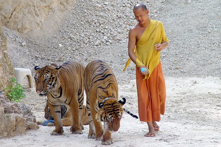 A monk walking tigers at the Tiger Temple in Thailand.