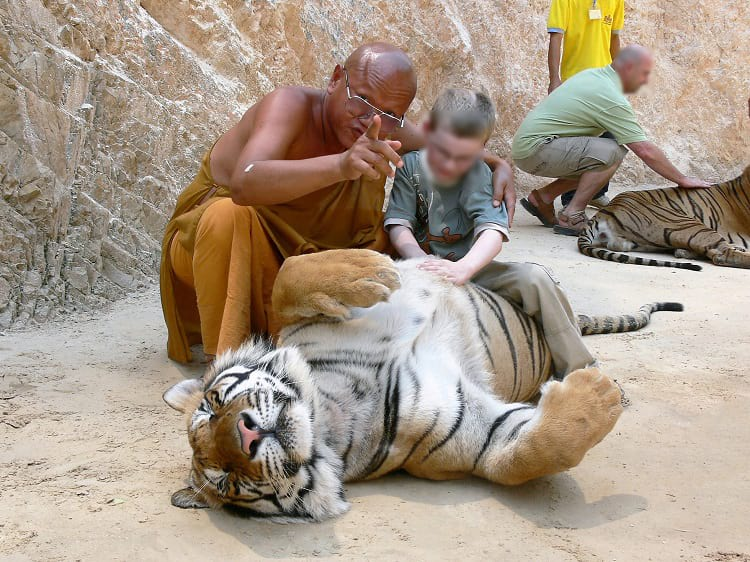 A child sitting on a tiger's belly at the Tiger Temple.