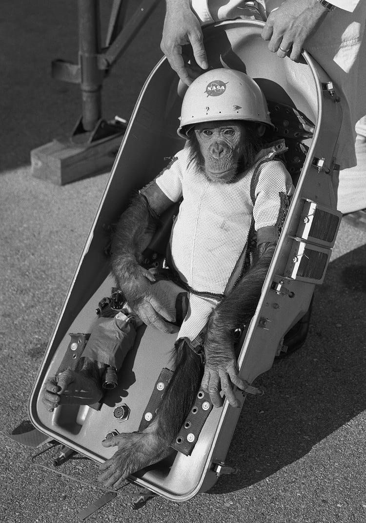 Ham – the chimpanzee in his space suit.