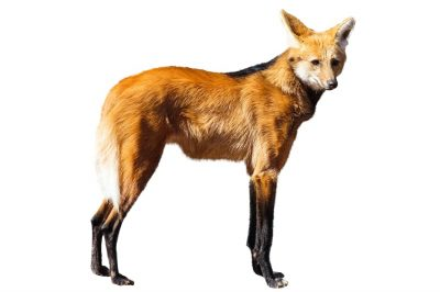 Maned wolf.