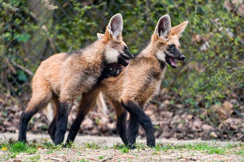 Maned wolf pup.