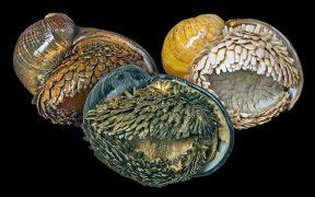 Scaly-foot Gastropod.