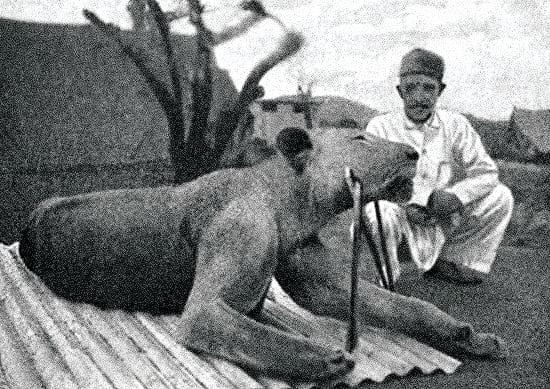 The second Tsavo lion.