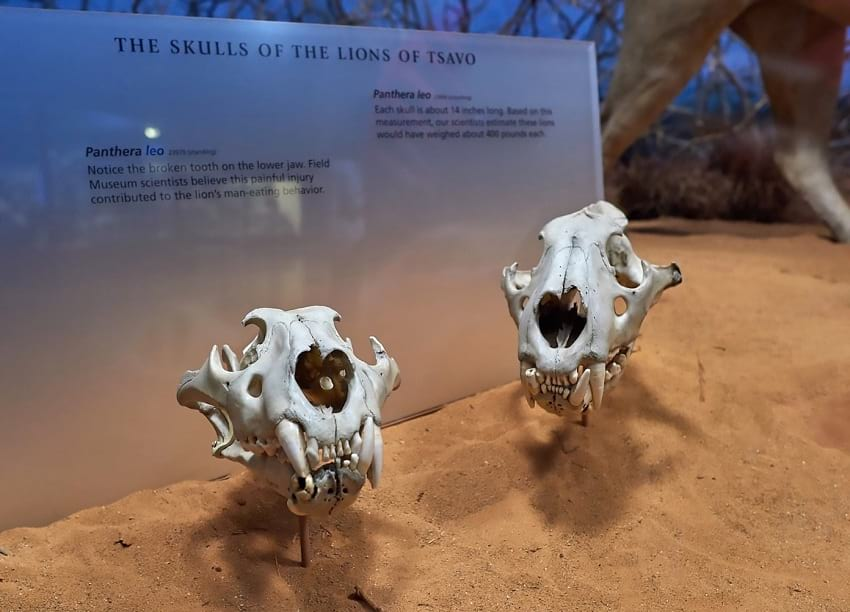 Skulls of the Tsavo Man-Eaters.