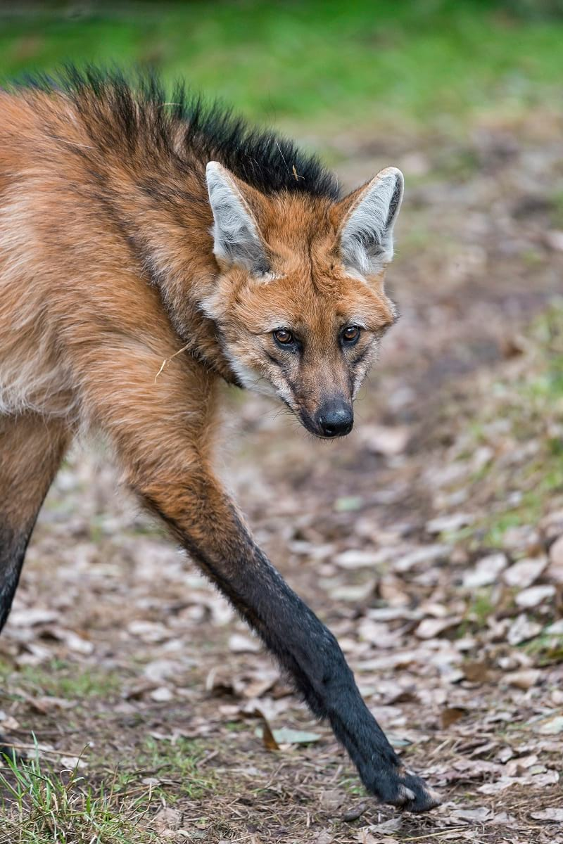 Long legs of Maned Wolf.