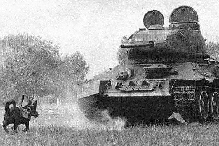 Anti tank dog.