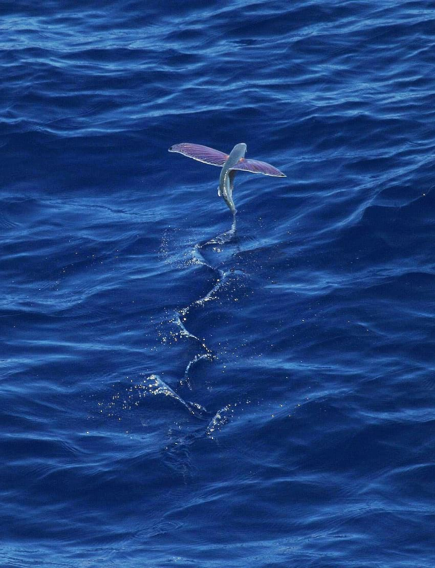 Flying fish propelling itself forward.