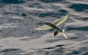 Flying fish in Lakshadweep.