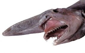 Head of a goblin shark.