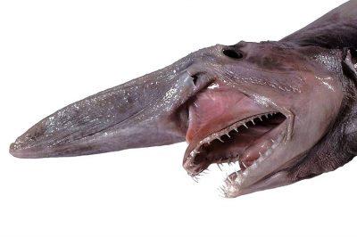 Head of a goblin shark.