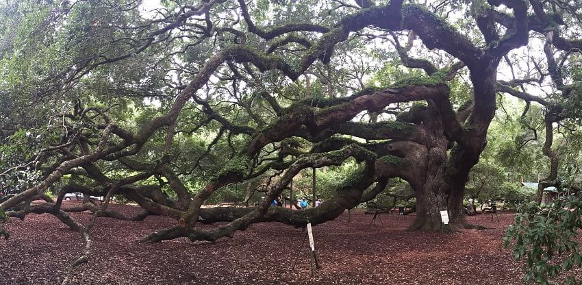 The branches of Angel Oak tree.